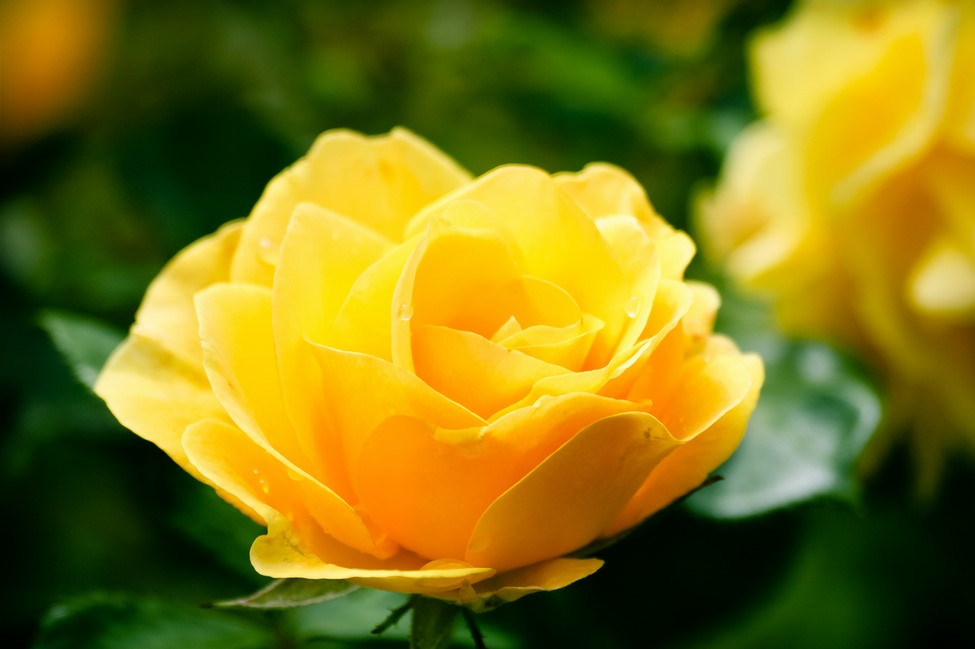 Yellow Rose - Grief Group