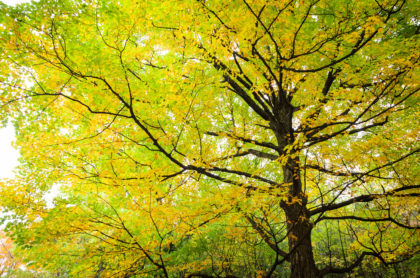 Yellow Fall Maple Tree