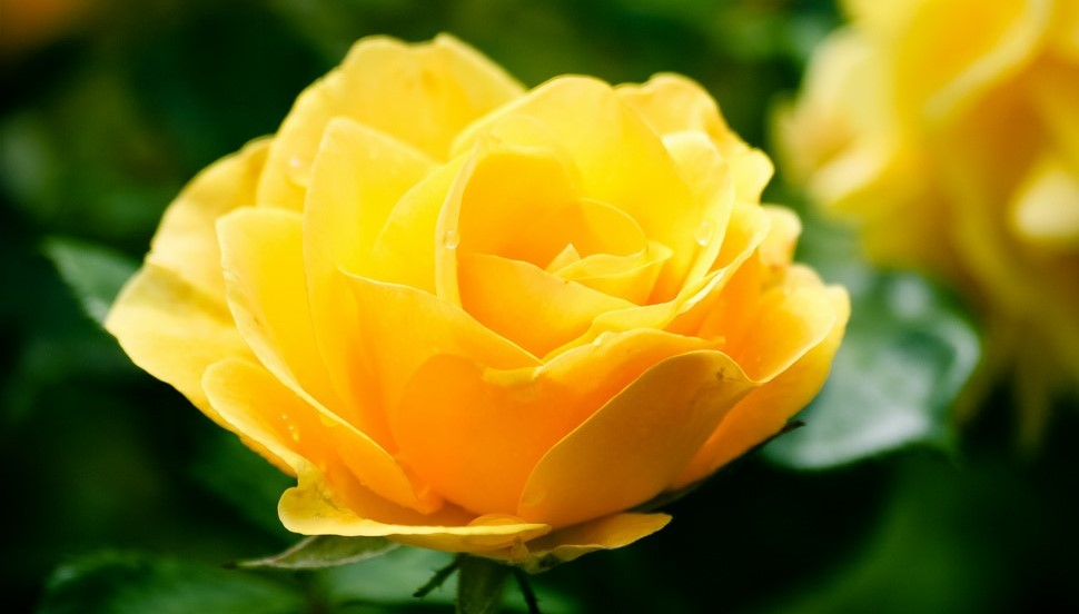 Yellow Rose - Grief Group (2)
